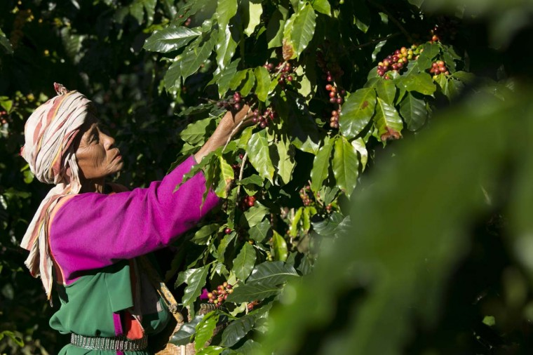 A member of the Lisu hill tribe picks Thai arabica coffee beans at the Thai High coffee farm on December 8, 2012 in Phrao, northern Thailand. The organic fair trade coffee farm was chosen to help produce the Black Ivory Coffee. (Paula Bronstein/Getty Images)