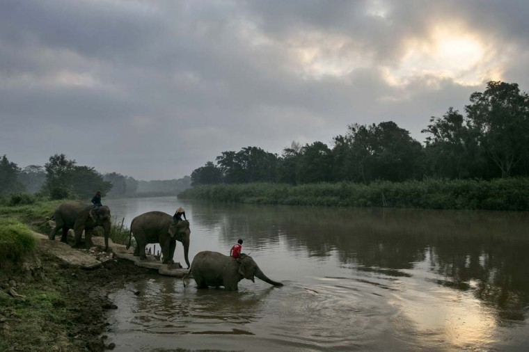 Thai elephants head to the river for an early morning bathe at an elephant camp at the Anantara Golden Triangle resort on December 10, 2012 in Golden Triangle, northern Thailand. (Paula Bronstein/Getty Images)