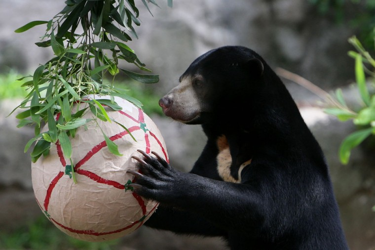 A Sun Bear receives a Christmas treat at Taronga Zoo in Sydney, Australia. Taronga Zoo celebrated Christmas early giving Christmas-themed environmental activities to the zoo's Giraffes, Sun Bears, Meerkats, Aldabra Tortoise and Cockatoos providing a wonderful natural display for zoo visitors. (Lisa Maree Williams/Getty Images)