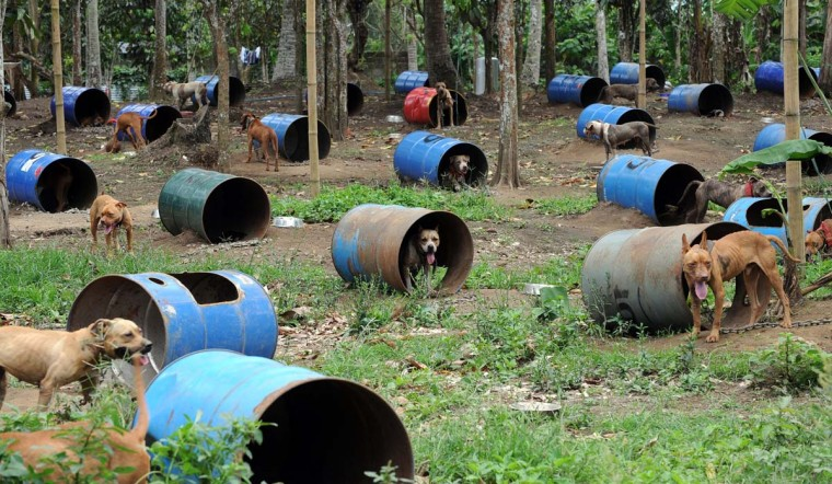 Dogs rescued from a South Korean-run online dog fighting racket are chained to steel barrels used as their temporary shelters as they wait to be handled by volunteers from the Philippine Animal Welfare Society (PAWS) in San Pablo City, Laguna province, south of Manila on April 3, 2012. Philippine police on April 1, 2012 rescued the 300 badly injured pitbulls and arrested seven South Koreans after busting a massive online dog fighting syndicate which was broadcasting the fights online to a betting audience. (Ted Aljibe//AFP/Getty Images)