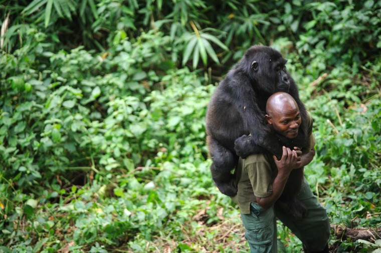 Patrick Karabaranga, a warden at the Virunga National Park, plays with an orphaned mountain gorilla in the gorilla sanctuary in the park headquarters at Rumangabo in the east of the Democratic Republic of Congo on July 17, 2012. The Virunga park is home to some 210 mountain gorillas, approximately a quarter of the world's population. The four orphans that live in the sanctuary are the only mountain gorillas in the world not living in the wild, having been brought here after their parents were killed by poachers or as a result of traffickers trying to smuggle them out of the park. (Phil Moore/AFP/Getty Images)