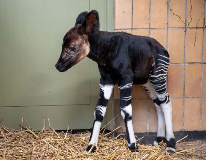 A handout photo distributed on September 20, 2012 by Zoo Antwerpen in Antwerp shows a male okapi called Nkosi, who was born last weekend at the zoo. Okapi live in northwestern Democratic Republic of Congo and are on the list of endangered species. (Johan Verhulst/Zoo Antwerpen via AFP/Getty Images)