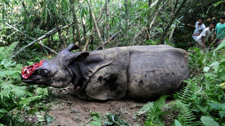 Villagers look at a wounded endangered one horned Rhinoceros that was shot and dehorned by poachers in the jungle of Parku hills near Kaziranga National Park on September 26 2012. Indian veterinarians struggled to save the life of a rare rhinoceros that was shot and had its horn cut off after it wandered out of a flooded national park. (Biju Boro/AFP/Getty Images)