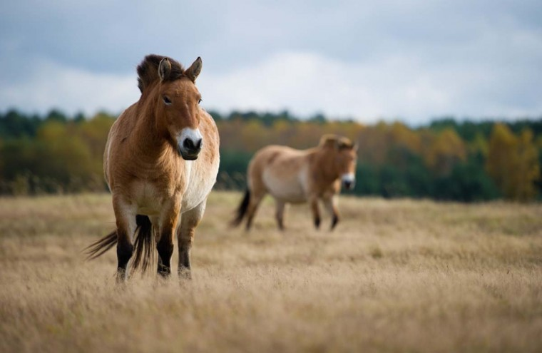 Two Przewalski horses graze in the Schorfheide nature reserve in Gross Schoenbeck, eastern Germany, on October 25, 2012. The Przewalski horse is a rare and endangered subspecies of the wild horse and named after the Russian explorer Nikolai Przhevalsky. The Schorfheide-Chorin Biosphere Reserve was established in 1990 following the German Reunification and is under the protection of the UNESCO Man and Biosphere Reserve Programme. (Patrick Pleul/AFP/Getty Images)