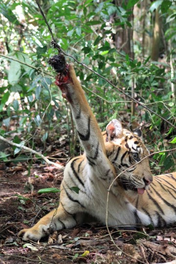 This handout picture taken on February 18, 2012 in Muko-Muko, Bengkulu province and released by Kerinci Seblat National Park on November 21, 2012 shows a Sumatran tiger named Dara being trapped by tiger poachers. Indonesian conservasionists have found 120 traps set up by poachers to snare critically endangered Sumatran tiger in Kerinci Seblat National Park, an official said. (Kerinci Seblat National Park via AFP/Getty Images)