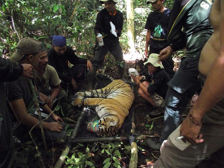 This handout picture taken on February 18, 2012 in Muko-Muko, Bengkulu province and released by Kerinci Seblat National Park on November 21, 2012 shows tiger rangers evacuating a critically injured endangered Sumatran tiger named Dara after it was trapped by poachers. (Kerinci Seblat National Park via AFP/Getty Images)