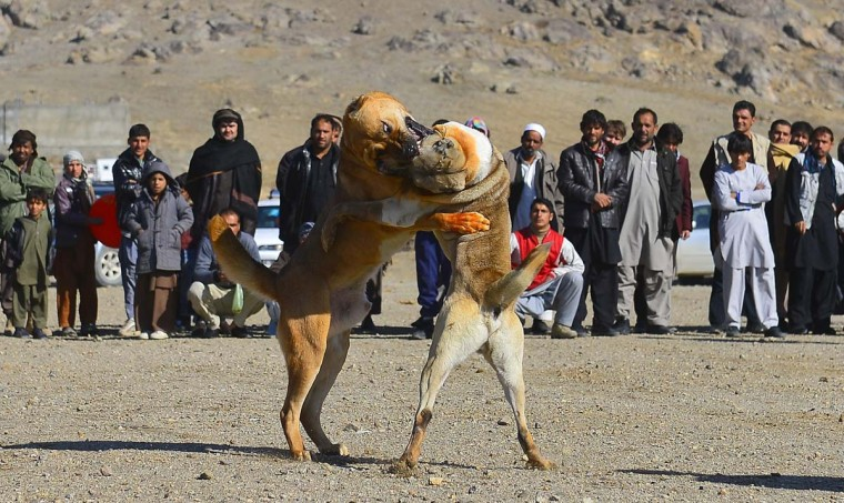 Two fighting dogs attack each other during the weekly dog fights on the outskirts of Kabul on November 30, 2012. Dog fighting is held in vacant lots and though betting is done, matches are stopped as soon as one dog shows absolute domination. Dog fighting was banned during the Taliban regime. (Massoud Hossaini/AFP/Getty Images)