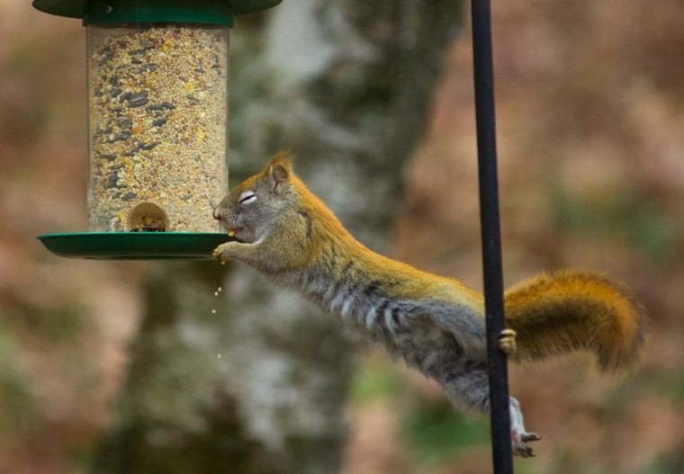 A red squirrel reaches for a birdfeeder hung from a wire to get the seeds December 1, 2012 in Hudson, Wisconsin. The battle goes on year round as bird lovers try various techniques to keep the squirrels from robbing the feeders and scaring the birds away. (Karen Bleier/AFP/Getty Images)