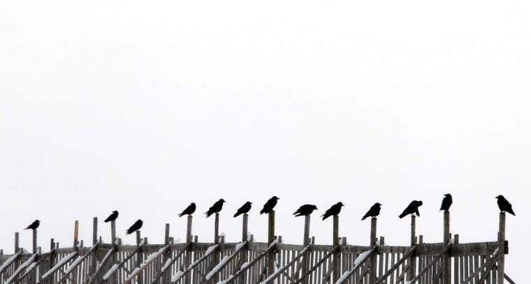 Crows sit on the poles of a snow fence near Hutttenwang, southern Germany, on December 2, 2012. (Kal-Josef Hildenbrand/AFP/Getty Images)