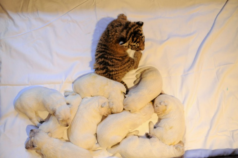 One of the three tiger cubs orphaned by Swiss Shepherd dog, Talli, rests near Talli's own cubs in the Russian Black Sea resort of Sochi. Three little tigers, two male and one female cubs, were born last month in the Oktyabrsky Zoo in Sochi but abandoned by their birth mother, tigress Bagira. (Mikhail Mordasov/AFP/Getty Images)
