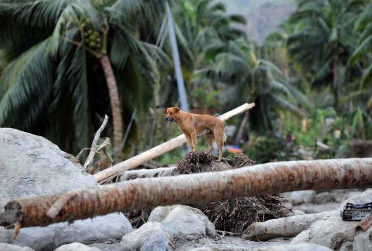 A dog stands on top of an uprooted coconut tree in the village of Andap, New Bataan town, Compostela Valley province on December 5, 2012, a day after Typhoon Bopha hit the province. At least 274 people have been killed and hundreds remain missing in the Philippines from the deadliest typhoon to hit the country this year, the civil defence chief said December 5. (Ted Aljibe/AFP/Getty Images)