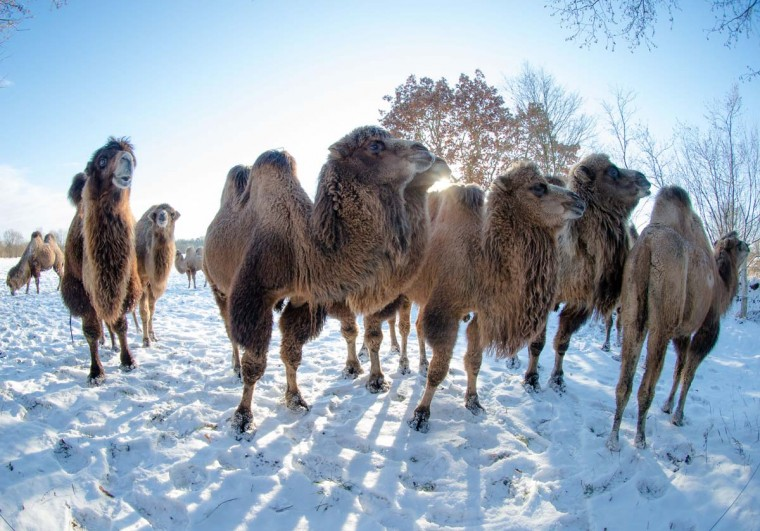 Camels are seen on a snow covered pasture in Berkenthin, northern Germany, on December 6, 2012. The owner, a veterinary and farmer, trains the animals for movie productions. (Markus Scholz/AFP/Getty Images)