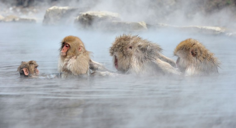 Japanese macaque, commonly referred to as 'snow monkeys,' take an open-air hot spring bath, or 'onsen' at the Jigokudani (Hell's Valley) Monkey Park in the town of Yamanouchi, Nagano prefecture. Some 160 of the monkeys inhabit the area and are a popular tourist draw. (Kazuhiro Nogi/AFP/Getty Images)