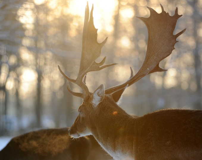 A fallow deer is seen at a outdoor enclosure in Niendorf, Hamburg, northern Germany. (Angelika Warmuth/AFP/Getty Images)