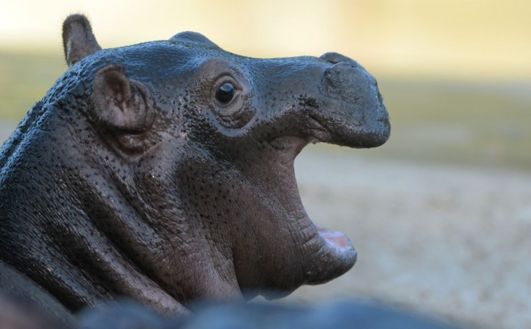 A two weeks old baby hippopotamus is pictured in its outdoor enclosure at the zoo in Berlin. (Johannes Eisele/AFP/Getty Images)