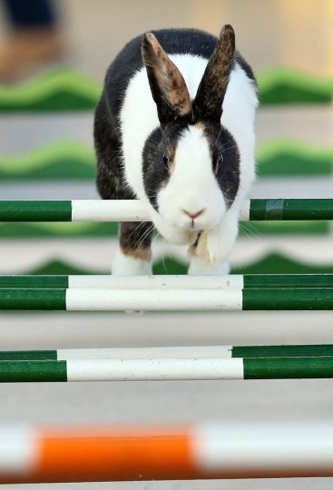 A rabbit jumps over hurdles at the 27th EE Europe Show in Leipzig, eastern Germany. This weekend, small animal breeders from all over the world present an overall 95,000 animals, among them bantams, chicken, pigeons and rabbits. According to the organizers, it is the largest European show ever. (Ajan Woitas/AFP/Getty Images)