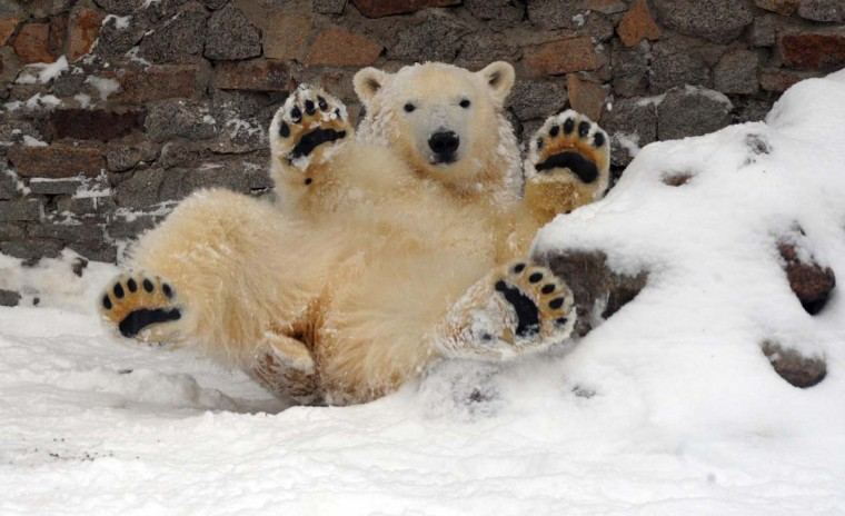A young polar bear wallows in snow at the public zoo in the Russia's second city of Saint-Petersburg, on December 7, 2012. (Olga Maltseva/AFP/Getty Images)