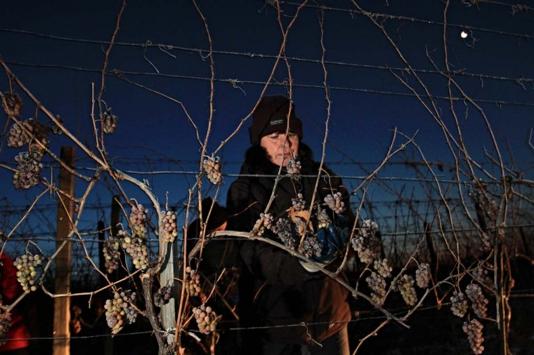A woman collects frozen wine grapes as temperatures show -12 degrees Celsius at Mikulov, near Brno, Czech on December 9, 2012. The Ice wine, which is produced out of the grapes, contains over 30 percent sugar and is an exceptional and expensive specialty. (Radek Mica/AFP/Getty Images)