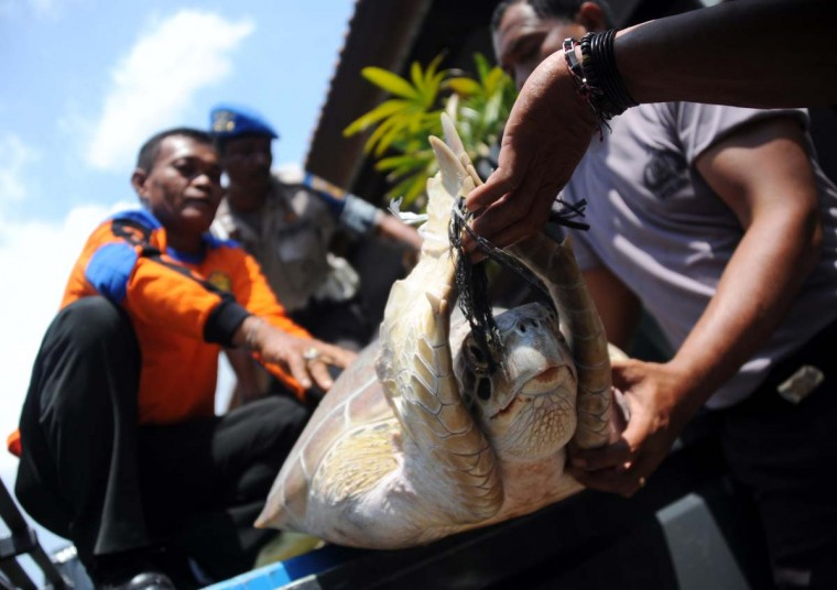 Indonesian marine police move one of 33 rescued green turtles in Denpasar on Bali island on December 10, 2012. Indonesia, home to important migration routes at the crossroads of the Pacific and Indian Oceans, is home to six out of seven of the world's turtle species. (Sonny Tumbelaka/AFP/Getty Images)