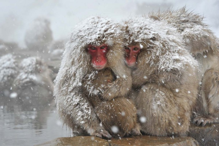 "Japanese macaque, commonly referred to as ""snow monkeys,"" sit next to an open-air hot spring bath at the Jigokudani Monkey Park in the town of Yamanouchi, Nagano prefecture on December 10, 2012. Some 160 of the monkeys inhabit the area and are a popular tourist draw. (Kazuhiro Nogi/AFP/Getty Images)"