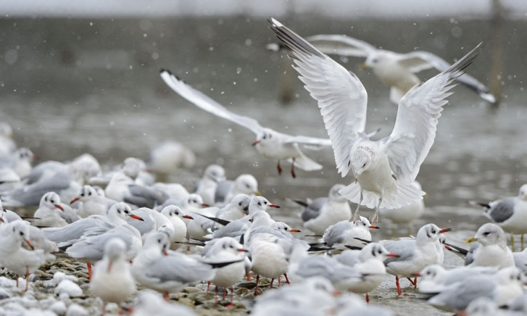 Seagulls flock together on the snowcovered shore of Lake Constance in Fischbach, eastern Germany. (Felix Kaustle/AFP/Getty Images)