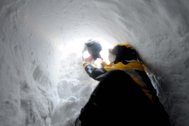 An avalanche dog frees a person buried in the snow, on December 11, 2012, during an avalanche dogs training session near Les Deux Alpes ski resort in the French Alps. (Jean-Pierre Clatot/AFP/Getty Images)