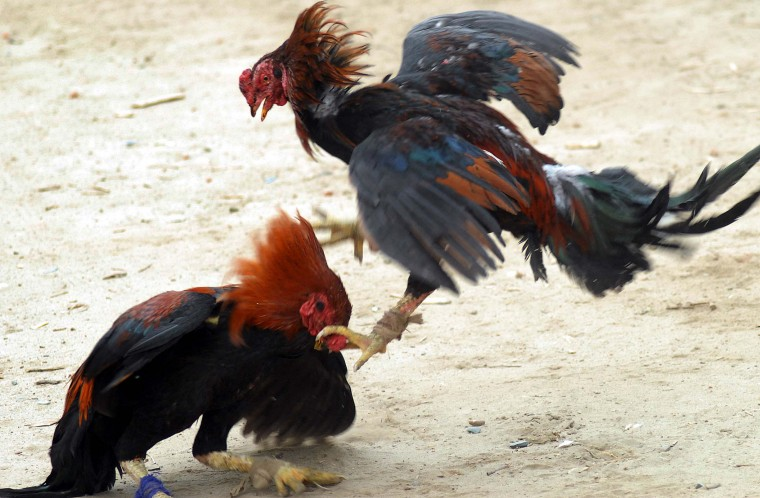 A pair of fighting cocks do battle during a cock-fight in a village in the Jalandhar district of northern Punjab state. The sport of cock-fighting, frowned upon by animal lovers, has strong supporters in the countryside of northern India. (Shammi Mehra/Getty Images)