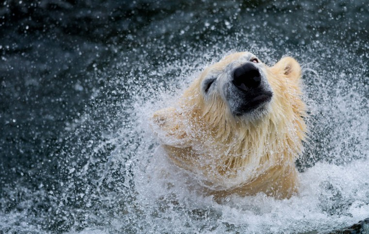 "Polar bear ""Sprinter"" plays in a pool of his enclosure at the zoo in Hanover, central Germany. ""Sprinter"" is celebrating his fifth birthday. (Peter Steffen/Getty Images)"