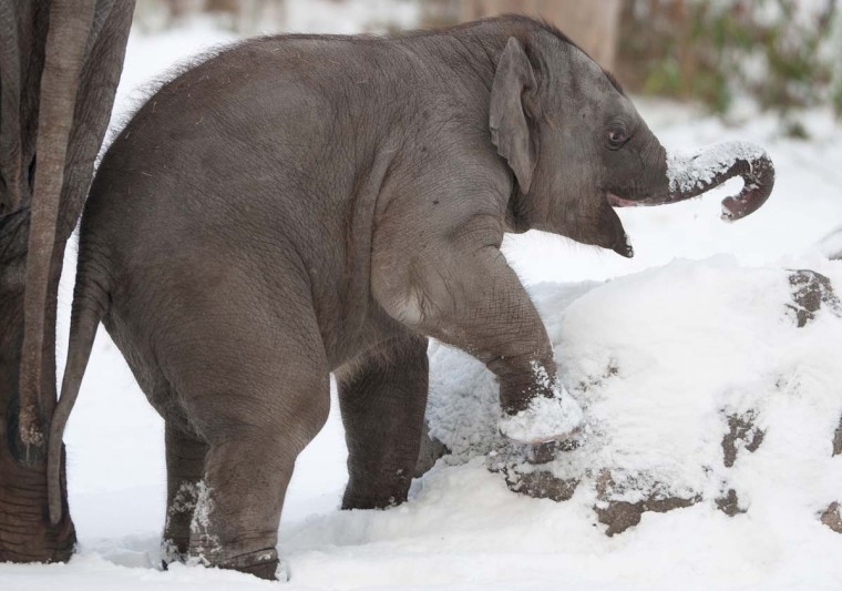 A young elephant plays in the snow on December 13, 2012 at the zoo in Berlin. (Tim Brakemeier/AFP/Getty Images)