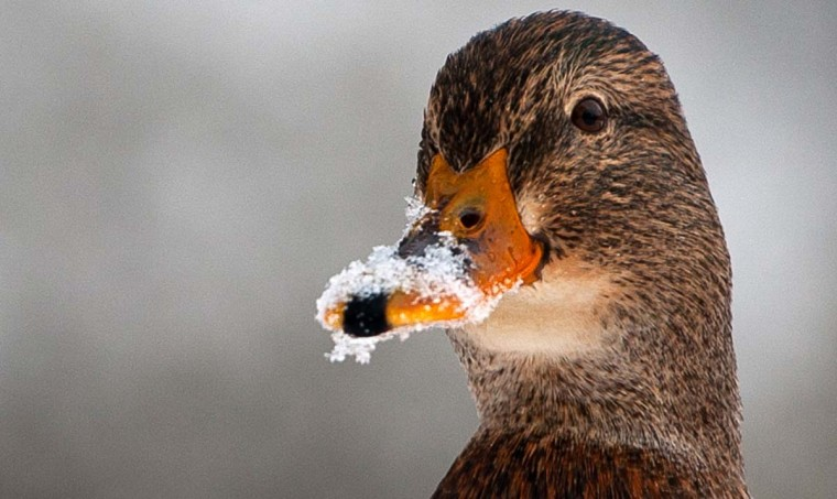 A duck has its beak covered in snow on December 13, 2012 at the border of the river Ilmenau in a park in Bad Bevensen, central Germany. (Philipp Schulze/AFP/Getty Images)