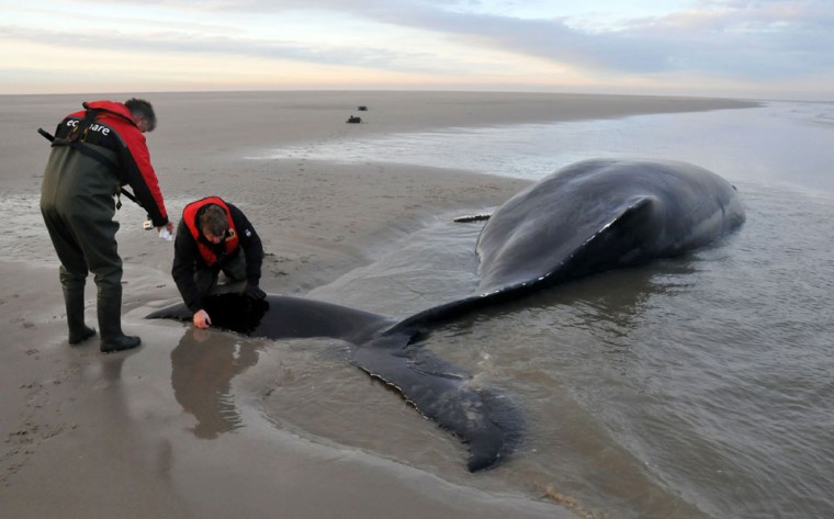 A handhout photo taken on December 13, 2012 and provided by the Ecomare seacentre shows a humpback whale stranded on a sandbank near the island of Texel, northern Netherlands. (ANP/ECOMARE/HO/Salko de Wolf/AFP/Getty Images)