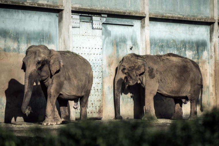 Baby and Nepal, two elephants who both have tuberculosis, are pictured on December 17, 2012 at the Parc de la Tete d'Or zoo in Lyon, central eastern France. This two ailing middle-aged elephants that French officials wanted to put down have been given a Christmas reprieve after an appeal to President Francois Hollande and an Internet campaign to save them. (Jeff Pachoud/AFP/Getty Images)