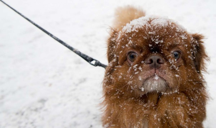 Snow-covered dog Peggy looks on during snowfall in Berlin on December 22 , 2012. Meteorologists forecast snow fall in northern and eastern parts of Germany. (Johannes Eisele/AFP/Getty Images)