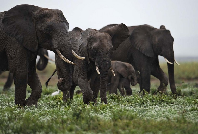 According to the International Fund for Animal Welfare, IFAW, 2012 stands out as the ''annus horriblis'' (Latin for 'year of horrors') for elephants. In 2012, 34 tons of poached ivory were seized, marking the biggest ever total of confiscated ivory in a single year, outstripping by almost 40 percent last year's record of 24.3 tons. Earlier this year, in just six weeks, between January and March 2012, at least 50 percent of the elephants in Cameroon's Bouba Ndjida National Park were slaughtered for their ivory by horseback bandits. Most illegal ivory is destined for Asia, in particular China, where it has soared in value as an investment vehicle and coveted as white gold. Photo taken on December 30, 2012 shows elephants at the Amboseli game reserve in Kenya. (Tony Karumba/AFP/Getty Images)