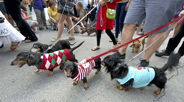 "Dachshunds and their owners parade in Key West, Florida on December 31, 2012, during the Key West Dachshund Walk, an annual New Year's Eve tradition that this year attracted almost 200 of the short-legged, long-bodied canines, as well as about 30 ""impostor"" dogs. (Any Newman/Florida Keys News Bureau HO via AFP/Getty Images)"
