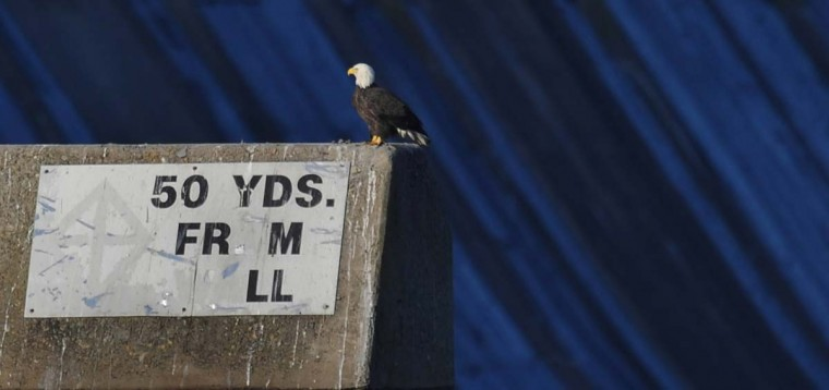 A concrete block at Conowingo Dam provides a perch for a bald eagle as it looks for floating fish on the Susquehanna River. (Kenneth K. Lam/The Baltimore Sun)