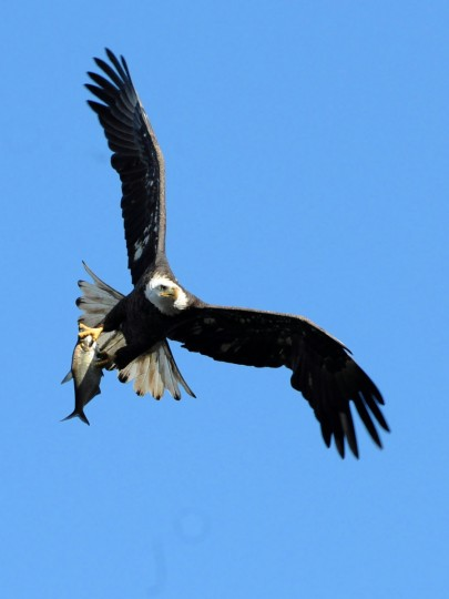 A bald eagle flies with a fish in its talons at the Conowingo Hydroelectric Dam. Saturday is Conowingo Eagles Day at the dam pavilion, Kim Hairston/Baltimore Sun