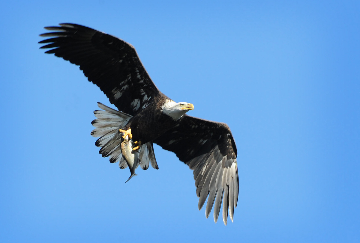looking for a dramatic 1a photo of the bald eagles at conowingo