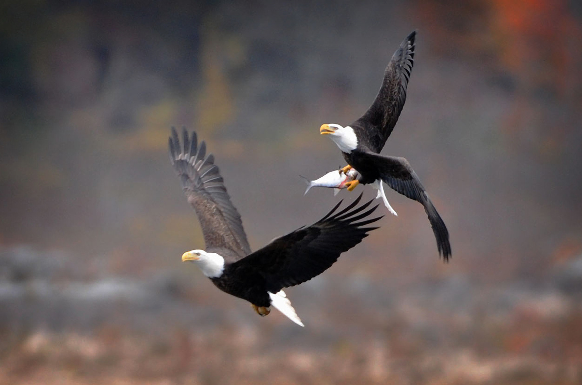 Bald eagles are star attraction at Conowingo Dam
