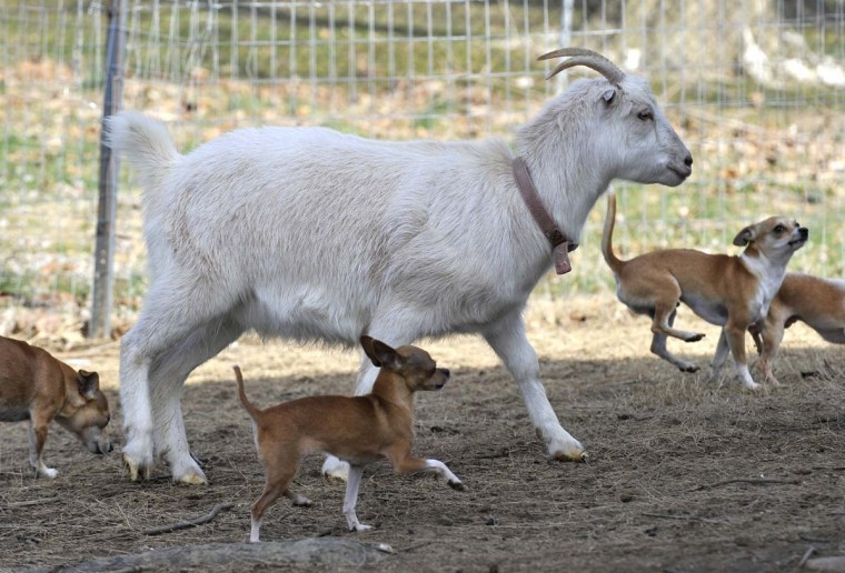 A family in Cecil County is struggling to keep it's pet goat, Snowbird, suing the county after officials moved to take the goat on a zoning technicality. Craig Balunsat and his wife Lisa say there is no reason why their beloved goat, who they raised inside their home, should be treated different than their dogs and cats. (Lloyd Fox/Baltimore Sun)