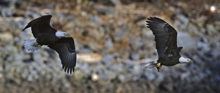 After catching its meal, a bald eagle, right, is chased by another who is looking to steal the fish from it. (Kenneth K. Lam/The Baltimore Sun)