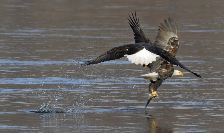 A bald eagle, right, picked off a fish from the Susquehanna River as another made a late approach for the same fish. (Kenneth K. Lam/The Baltimore Sun)