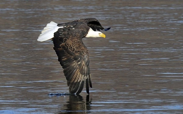 A bald eagle dips its wingtip into the Susquehanna River as it fished the river. (Kenneth K. Lam/The Baltimore Sun)