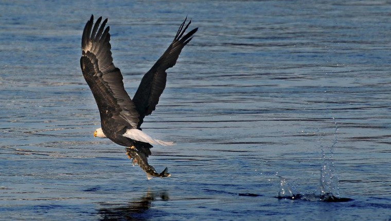 A bald eagle finds success in securing its meal from the Susquehanna River. (Kenneth K. Lam/The Baltimore Sun)