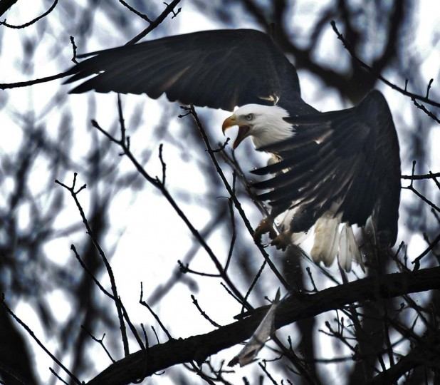 A bald eagle loses its catch as it is challenged by another eagle while landing on a tree near the Susquehanna River. (Kenneth K. Lam/The Baltimore Sun)
