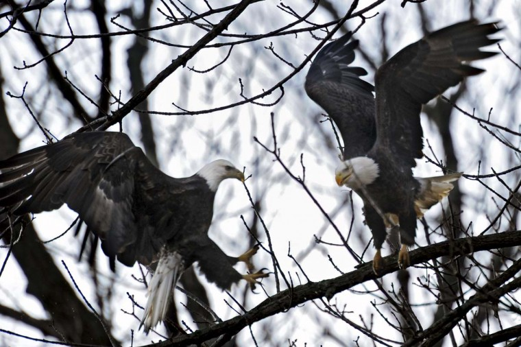 A bald eagle, left, tries to steal a fish from another eagle as it lands on a tree. However, the eagle had already dropped the fish on approach to the tree. (Kenneth K. Lam/The Baltimore Sun)