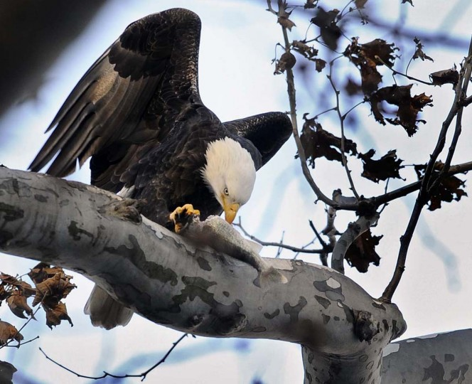 A bald eagle settles down on a tree to feast on a fish it caught from the Susquehanna River downstream of Conowingo Dam. (Kenneth K. Lam/The Baltimore Sun)