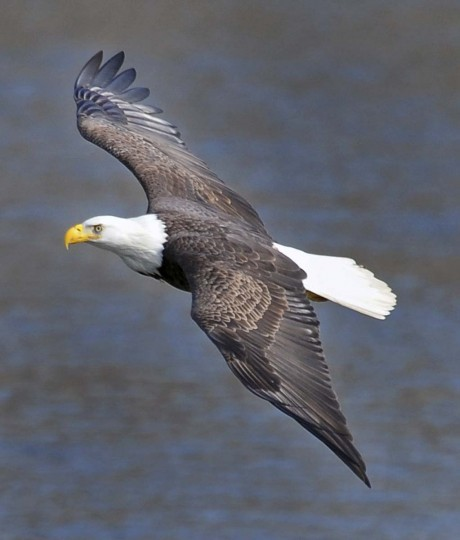 A bald eagle glides over the Susquehanna River looking for a meal. (Kenneth K. Lam/The Baltimore Sun)