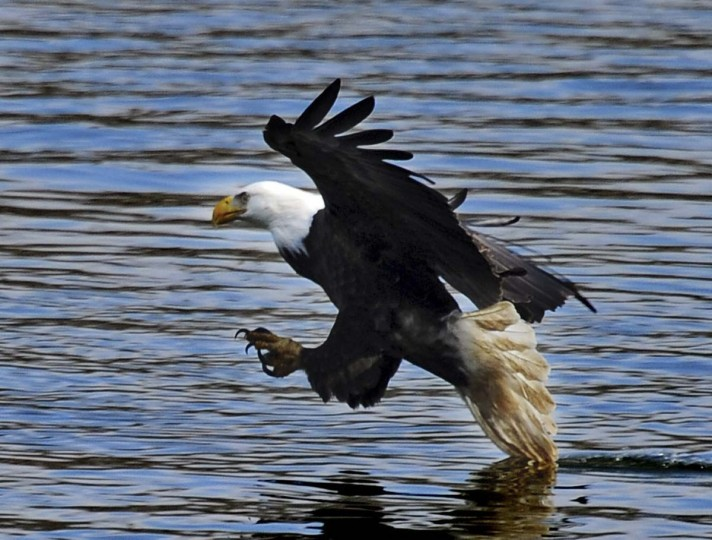 Spreading its wings a bald eagle slows down as it prepares to grab a fish from the Susquehanna River. (Kenneth K. Lam/The Baltimore Sun)