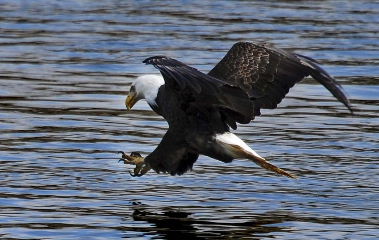 A bald eagle stretches its talons to grab a fish from the Susquehanna River. (Kenneth K. Lam/The Baltimore Sun)